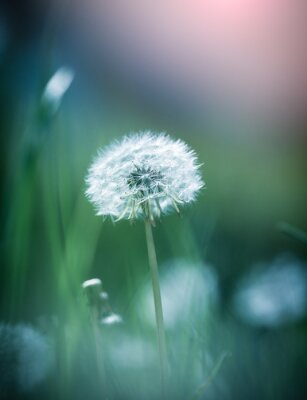 Bild Dandelion close up