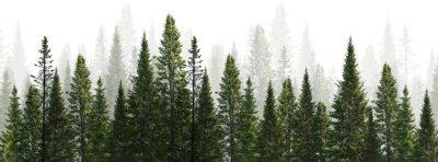 Bild dark green straight trees forest on white