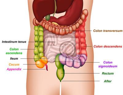 Darm-anatomie, medizinische vektor-illustration leinwandbilder ...
