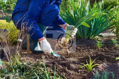 Das Einpflanzen eines Iris Blume