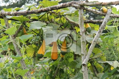 Das Wachstum Von Dekorativen Hartschalen Kurbis Pflanze Fruchte