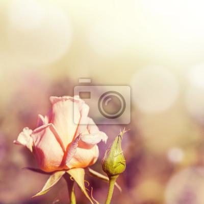 Defocus blur background with rose.
