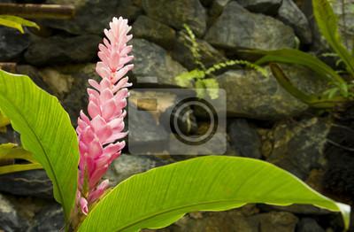 Der Rote Ingwer Im Garten Leinwandbilder Bilder Alpinia Schöne