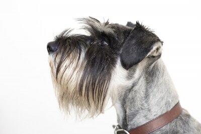 Bild Der weise Schnauzerhund