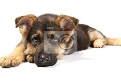 Deutsch Shepard Hund
