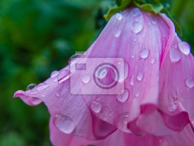 Bild dew on flower