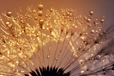 Bild Dewy dandelion at sunrise close up