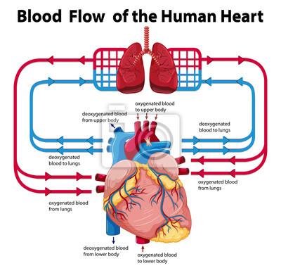 Diagramm, das den blutfluss des menschlichen herzens zeigt ...