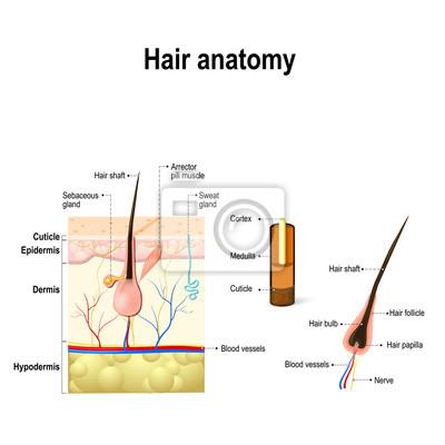 Diagramm einer haarfollikel im querschnitt der hautschichten ...