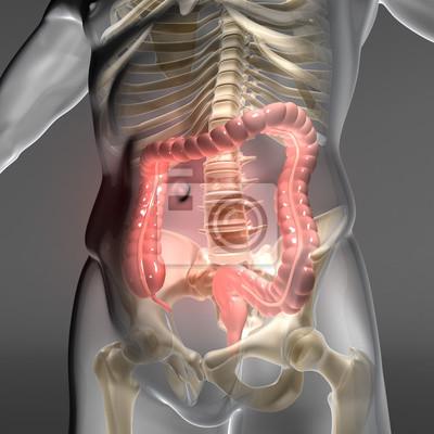 Dickdarm - verdauungsorgan im menschlichen körper leinwandbilder ...