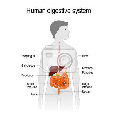 Die lage des verdauungssystems im menschlichen körper ...