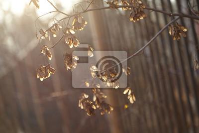 Die Samen des Ahorns in Strahlen der untergehenden Sonne