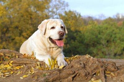 Bild Die schöne gelbe Labrador im Herbst im Herbst