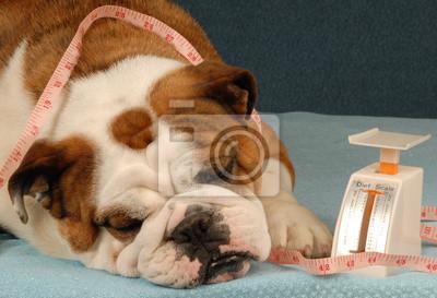 Bild dog on a diet - english bulldog sad about dieting