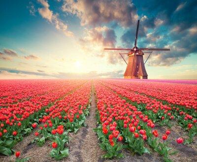 Bild Dramatic spring scene on the tulip farm. Colorful sunset in Netherlands, Europe.