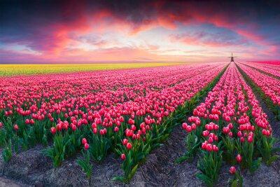 Bild Dramatische Frühlingsszene auf dem Tulip Bauernhof