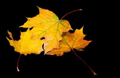 Bild Drei einfache Ahornblätter auf einem schwarzen Hintergrund.