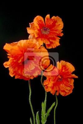 Bild drei Mohnblumen