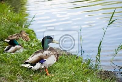 Bild Duck male on lake shore