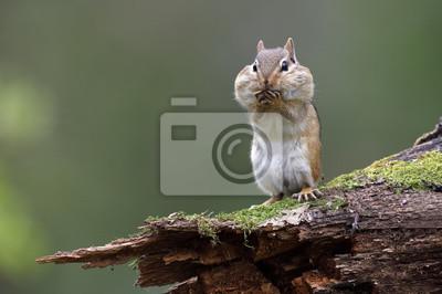 Bild Eastern Chipmunk, der auf einem moosigen Klotz mit seinen piepsenden Beuteln voll Lebensmittel steht