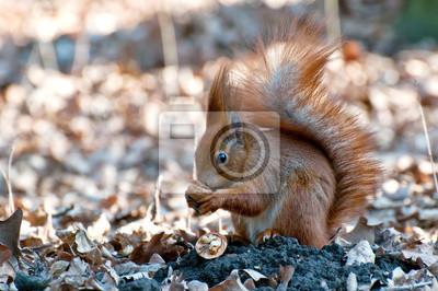 Bild Eichhörnchen mit Nuss. Frühlingstag.