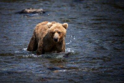 Bild Ein alaskischer brauner Bär watet durch den Brooks River auf der Suche nach Lachs.