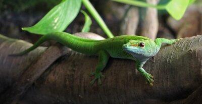 Bild Ein grüner Gecko, thront auf einem Zweig
