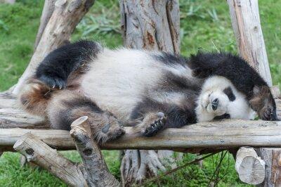 Bild Ein schlafender Riese Pandabär