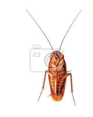 Ein toter Kakerlake isoliert auf weißem Hintergrund