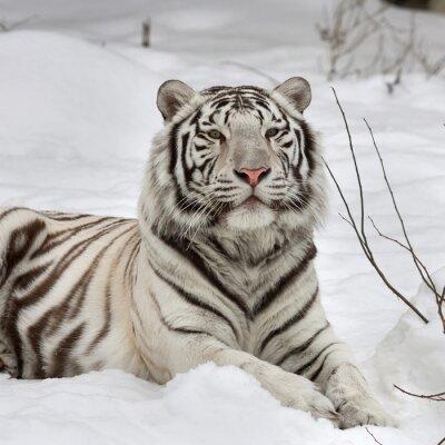 Bild Ein weißer Bengal-Tiger, ruhig auf Neuschnee liegen. Das schönste Tier und sehr gefährliches Tier der Welt. Dieser schwere Raubvogel ist eine Perle der Tierwelt. Tier Gesicht Porträt.