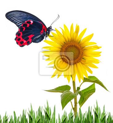 Bild Eine Sonnenblume und Schmetterling