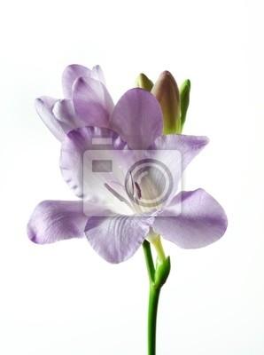 Bild eine violette Freesie isoliert
