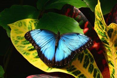Bild Einem hübschen blauen Morpho-Schmetterling landet in den Schmetterlingsgarten.