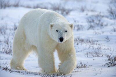 Bild Eisbär