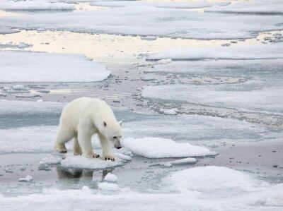 Bild Eisbär in der natürlichen Umgebung