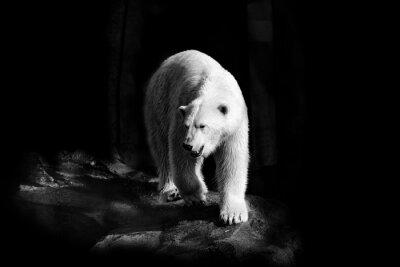 Bild Eisbär in Schwarzweiß