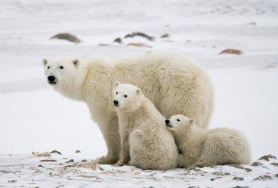 Bild Eisbär mit einem Jungen in der Tundra. Kanada. Eine ausgezeichnete Illustration.