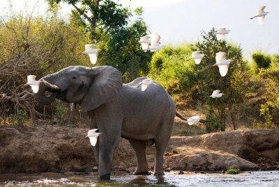 Bild Elefant mit weißen Reiher. Sambia. Unteren Zambezi Nationalpark. Zambezi River. Eine ausgezeichnete Illustration.