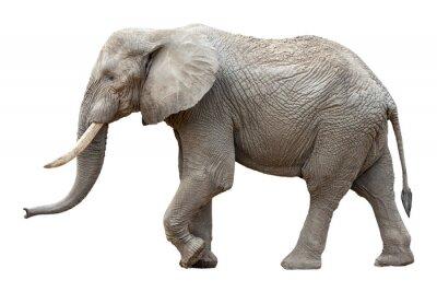 Bild Elefant vor weißem Hintergrund