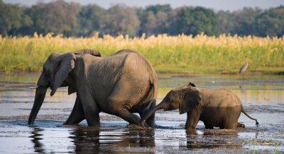 Bild Elefanten mit Baby über den Fluss Zambezi.Zambia. Unteren Zambezi Nationalpark. Zambezi River. Eine ausgezeichnete Illustration.