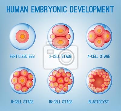 Bild Embryo Entwicklung Bild