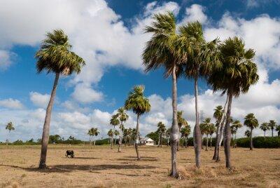 Endemischen Palmen von Kuba