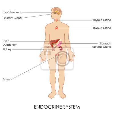 Endokrine leinwandbilder • bilder Fortpflanzungs-, Drüse ...