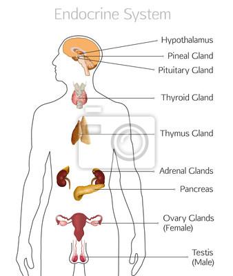 Endokrine systembild leinwandbilder • bilder Nebennieren ...