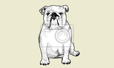 Bild Englisch Bulldog Stiftzeichnung