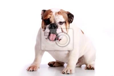 Bild englische Bulldogge Geschafft