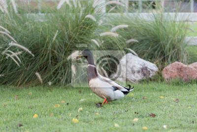 Ente auf grünem Gras am Morgen