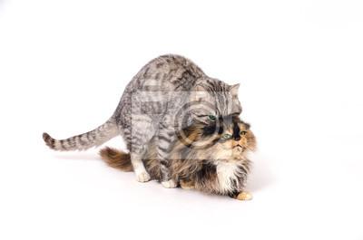 Erwachsene Haustiere Katzen Engagiert In Geschlechtsverkehr Auf