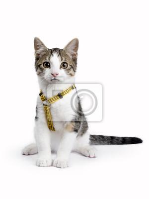 Europäisch Kurzhaar Kätzchen / Katze sitzt auf weißem Hintergrund tragen gelbe Harnas und Blick in die Kamera