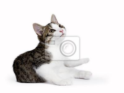 Europäische Kurzhaarkatze .kitten Verlegung auf weißem Hintergrund nachschlagen
